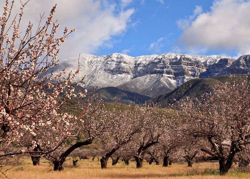 February - Flowering apricot orchard below snow-covered Topa Topa Bluffs.