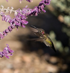 Hummingbird at Meditation Mount