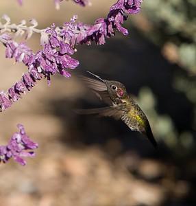 Hummingbird at Meditation Mount