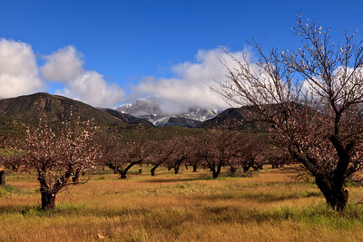 Upper Ojai Valley Apricot grove