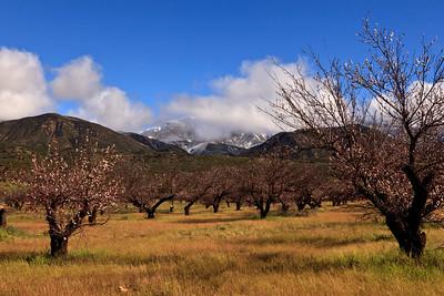 Upper Ojai Valley Apricot grove