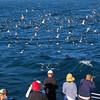 Santa Cruz Island, Channel Islands,  Sea Bird Feeding Frenzy, Island Adventure Cruise