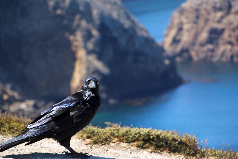 Santa Cruz Island, Channel Islands, Island Raven