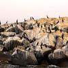Ventura Harbor, Black Oystercatcher Birds