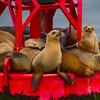 Sea Lions on Buoy, Channel Ferry Crossing