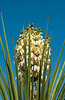 Yucca blosssom at the Living Prairie Museum in Palm Desert, California, USA.