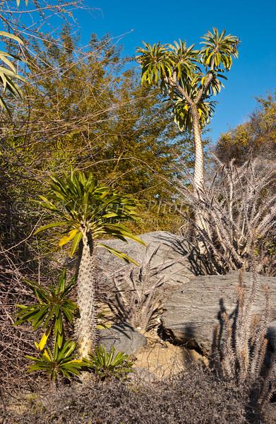 Plants at the Madagascar Garden in the Living Desert Museum in Palm Desert, California, USA.