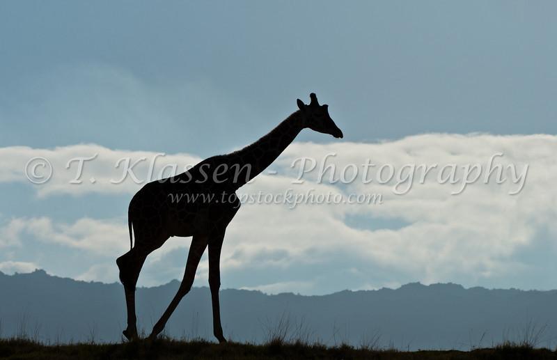 A silhoutte of a giraffe at the Living Desert Museum in Palm Desert, California, USA.