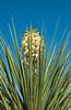 Yucca blosssom at the Living Prairie Museum in Palm Desert, California, USA.