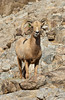 Desert big horn sheep at the Living Desert Museum in Palm Desert, Caliofrnia, USA.