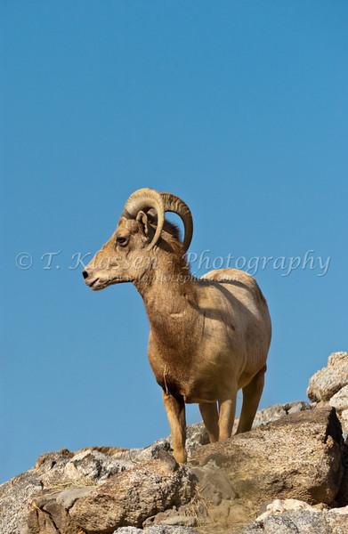 Desert big horn sheep at the Living Desert Museum in Palm Desert, Caliofrnia, USA.