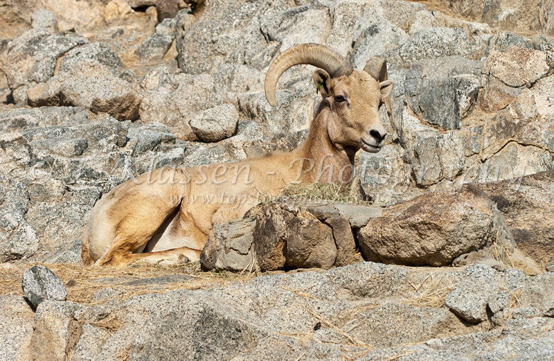 Desert big horn sheep at the Living Prairie Museum in Palm Desert, Caliofrnia, USA.