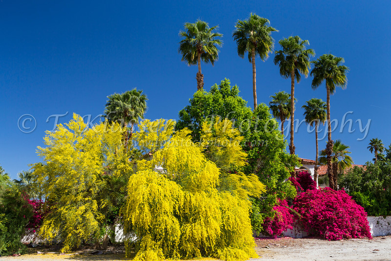 Palm springs best western las brisas hotel topstockphoto desert bougainvillea flowers and the yellow palo verde tree with palms at the las brisas hotel mightylinksfo