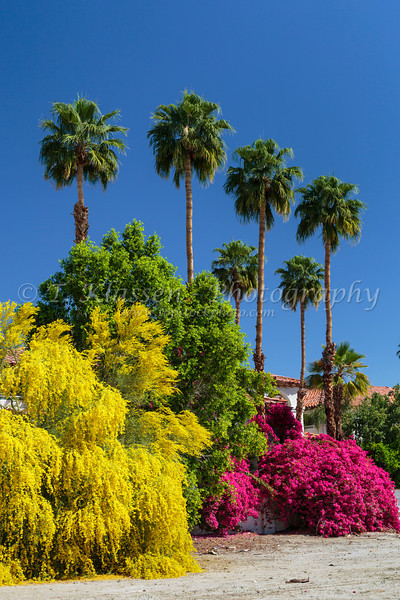 Desert bougainvillea flowers and the yellow  Palo Verde tree with palms at the Las Brisas Hotel Resort in Palm Springs, California, USA.