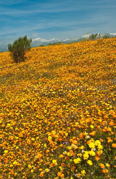 A field of African daisies near Cabazon, California, USA.