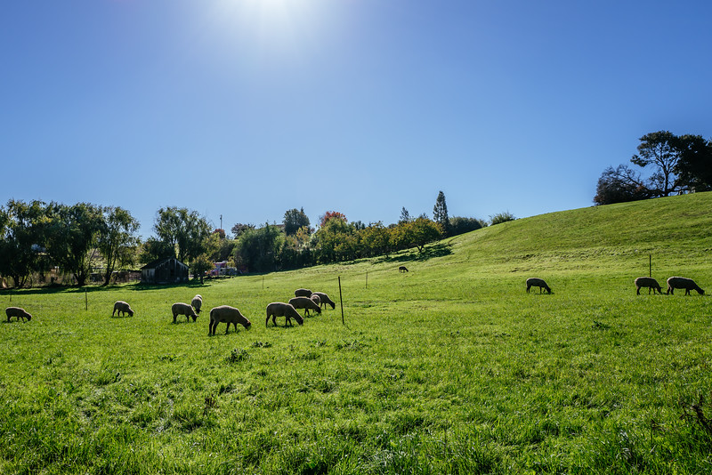 Dark side of the sheep.  Petaluma, Ca.