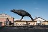 Raven?  Petaluma, Ca.