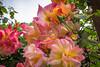 Joseph's Coat rose cluster
