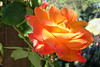 Joseph's Coat blossom