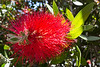 Red red callistemon