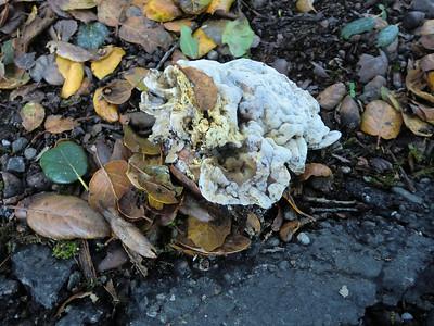 Petaluma Fungus