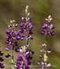 Bush lupine, E Pinnacles NP CA