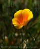 California poppies, E Pinnacles NP CA (2)