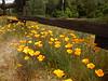 California poppies, E Pinnacles NP CA (1)