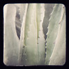 Giant agave that grows everywhere. It's hard to photograph this way.