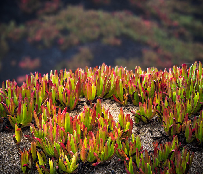 Iceplant Fields Forever