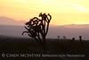 Joshua Trees at sunset, Rainbow Basin Natural Area, Barstow CA (2)