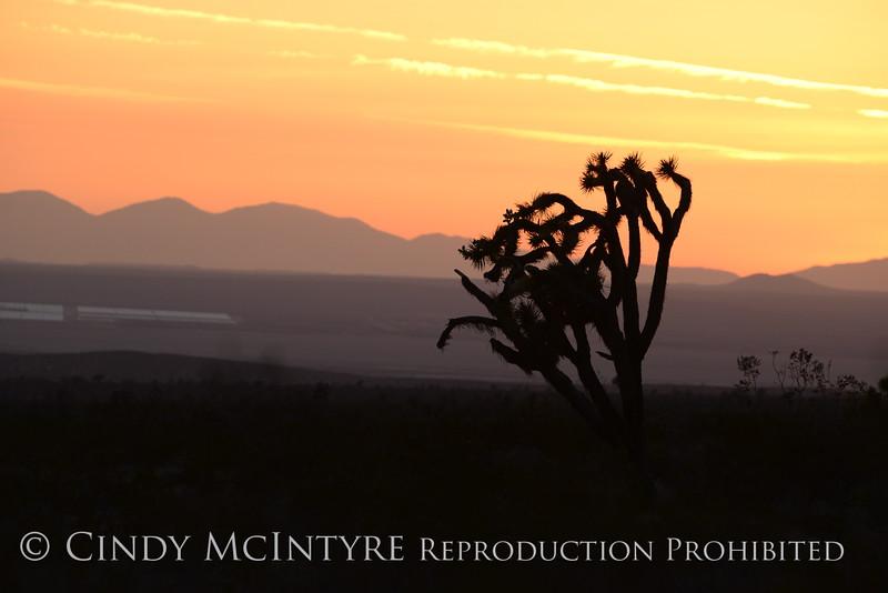Joshua Trees at sunset, Rainbow Basin Natural Area, Barstow CA (1)