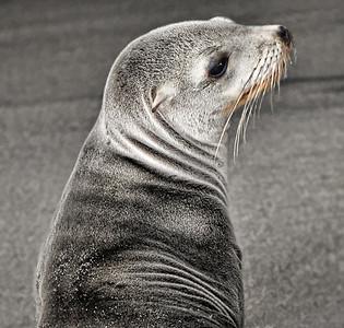 Baby Seal  Redondo Beach CA