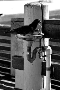 Combo Birdbath /Drinking Fountain :-)