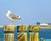 Seagull & Pilings