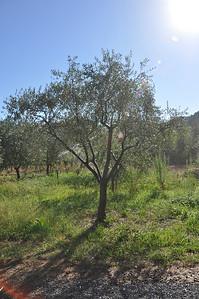 Olive tree at Preston = great olive oil.