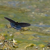 flying pipevine swallowtail