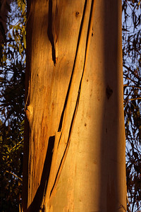 peeling eucalyptus bark