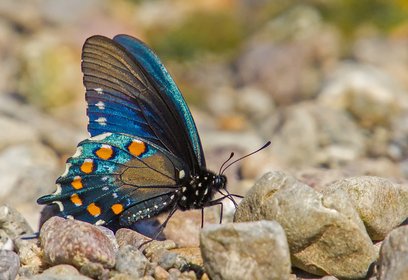 pipevine swallowtail puddling