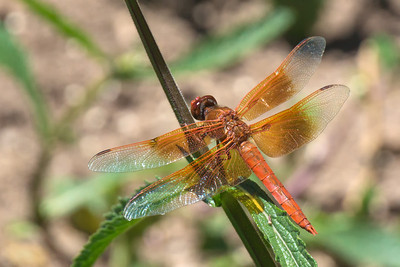 red dragonfly at Filoli