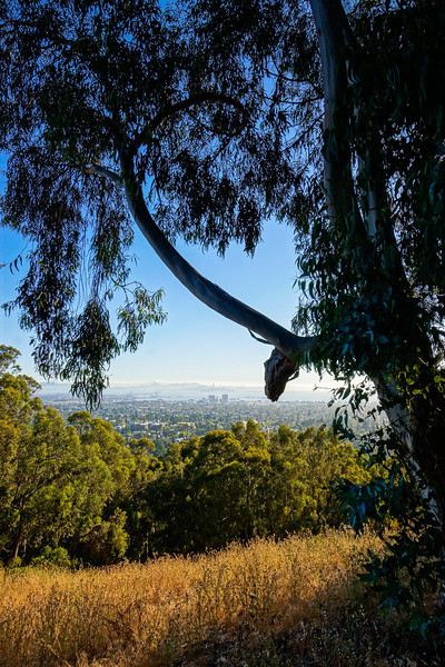 eucalyptus silhouetting Berkeley & SF on Claremont Canyon trail