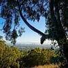 eucalyptus silhouetting Berkeley & SF on Claremont Canyon trail