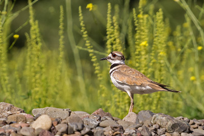 killdeer on stone fence