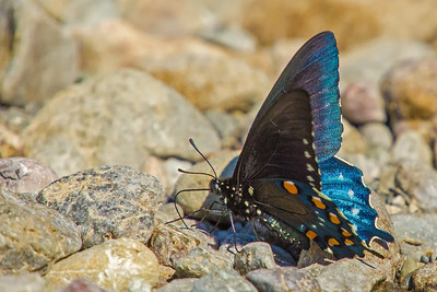 another pipevine swallowtail