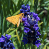 skipper on purple flower