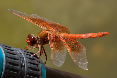 dragonfly on Gitzo