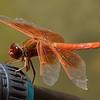 dragonfly on Gitzo