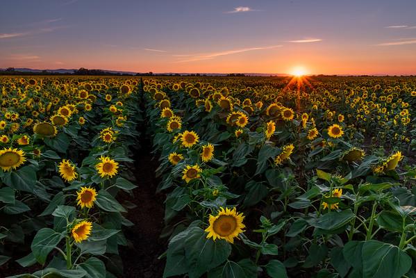Setting Sunflowers