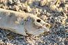 Dead fish, Salton Sea CA (1)