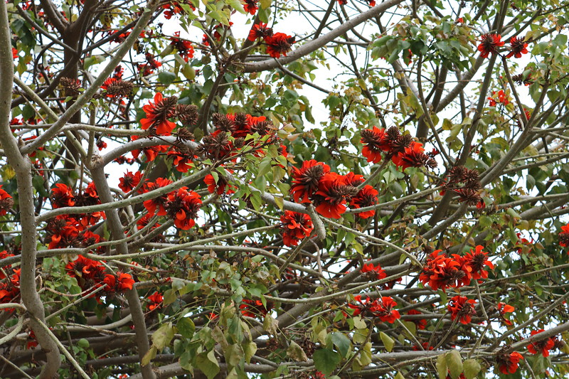 South African Coral Tree
